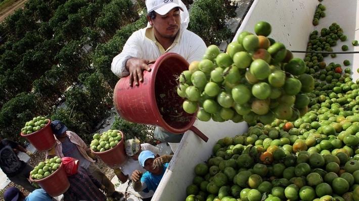 Dumping Florida mature-green tomatoes into a gondola