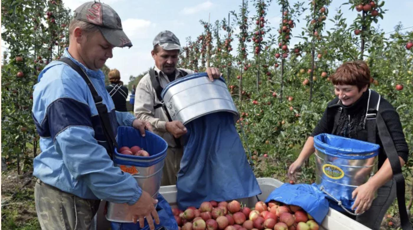 Ukrainian apple pickers in Poland
